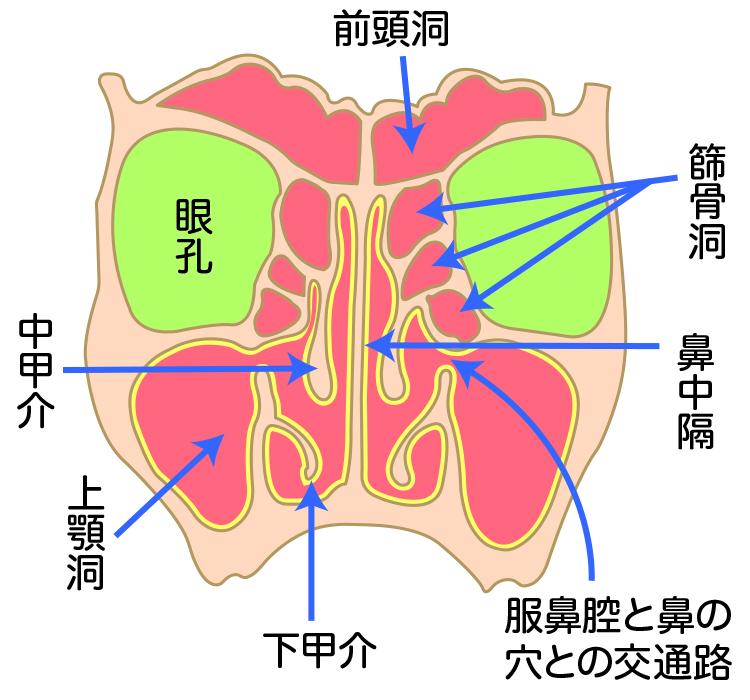 副鼻腔炎(蓄膿症)